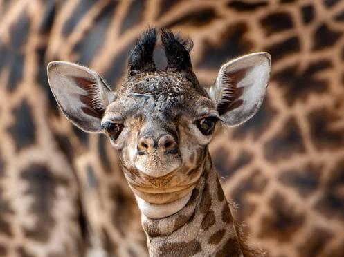 Disney anuncia nascimento de girafa